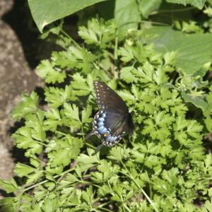 Using Parsley For Butterflies: How To Attract Black Swallowtail Butterflies