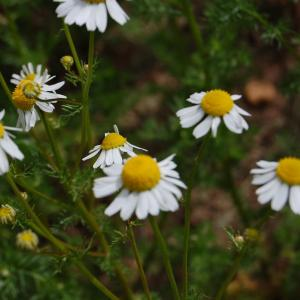 Chamomile Plant Companions: What To Plant With Chamomile