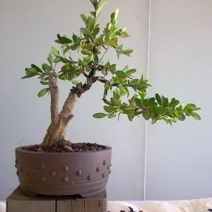 """盆景树种""""四大家""""之珍珠黄杨盆景的养护方法"""