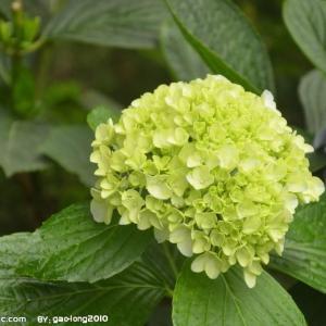 八仙花扦插方法