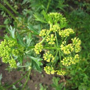 Parsley Plant Is Droopy: Fixing Leggy Parsley Plants