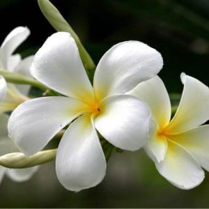 Here is a picture of a mature plumeria