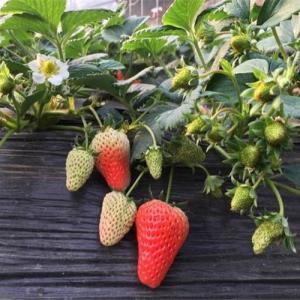 桃熏草莓基本介绍|特点