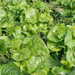 木耳菜的栽培技术