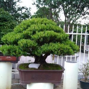 盆景树种中的上品:雀舌黄杨盆景的养护方法(详细版)