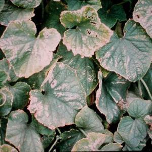 Ozone Damage to Plants