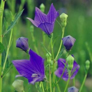 """最近有花友问干货君,为啥好多花都被叫成了格桑花,而且格桑花、各种菊花、桔梗等等的傻傻分不清楚。 接下来干货君就给大家讲一下,格桑花到底是个什么鬼?  在说格桑花之前咱们先来看看什么是桔梗。  #桔梗  (Platycodon grandiflorus),别名包袱花、铃铛花、僧帽花,是多年生草本植物,茎高20~120厘米,通常无毛,偶密被短毛,不分枝,极少上部分枝。叶全部轮生,部分轮生至全部互生,无柄或有极短的柄,叶片卵形,卵状椭圆形至披针形,叶子卵形或卵状披针形,花暗蓝色或暗紫白色,可作观赏花卉;其根可入药,有止咳祛痰、宣肺、排脓等作用,中医常用药。在中国东北地区常被腌制为咸菜,在朝鲜半岛被用来制作泡菜,当地民谣《桔梗谣》所描写的就是这种植物。单凭名称,有人会误以为桔梗乃桔子的梗,但实际上与桔子或柑橘属没有直接关系。 其实桔梗的根就是东北这边常吃的狗宝咸菜啊亲们!   接下来咱们言归正传,说说这个格桑花! 为什么好多花都和格桑花好像? 格桑花到底是什么花? 到底有没有格桑花这个植物? 格桑花到底是不是黑户? 让我们带着这一系列的问题来了解一下格桑花是什么,你就知道为啥好多花都与格桑花傻傻分不清楚啦!  格桑花又称格桑梅朵,具体为何种植物存在广泛的争议。在藏语中,""""格桑""""是""""美好时光""""或""""幸福""""的意思,""""梅朵""""是花的意思,所以格桑花也叫幸福花,长期以来一直寄托着藏族人民期盼幸福吉祥的美好情感。 西藏自治区高原生物研究所依据民族植物学方法,对格桑梅朵原植物进行过研究探讨。根据相关文献研究及关键人物的访谈,表示大量的藏族影视、歌曲、西藏的期刊杂志上被视为格桑花的波斯菊并不是真正的格桑花。从广义上说,""""格桑梅朵""""极有可能是高原上生命力最顽强的野花的代名词,而从植物学特征上讲菊科紫菀属植物和拉萨至昌都常见的栽培植物翠菊,都符合格桑花的特征 。另外在藏区也有如:金露梅、狼毒花、高山杜鹃、雪莲等植物称为格桑花的说法。  所以说,格桑花也许只是西藏人民心中美好的象征,并不是一种具有实际科属的植物。  那咱们接下来说说那些常常被认为是格桑花的植物吧!  紫菀属以及 #翠菊   单纯从植物学上考虑,格桑花应是资源丰富、广布藏区的菊科紫菀属(AsterL.)植物和翠菊(Callistephus chinensis (L.) Nees)。在园艺中,人们通常按照习惯,把分类变更之前及之后的植物都统称为""""紫菀"""",广义的紫菀属还包括其他邻近的属,这些邻近的属在西藏有狗娃花属(Heteropappus Less.),翠菊属(Callistephus Cass.)等。紫菀属的很多植物不仅是传统药用植物,而且像缘毛紫菀(Aster souliei Franch. )可用于治疗瘟疫、中毒症等疾病,这个属的其他种也有相近的药用价值,所以符合民间传说中格桑活佛的故事。蒙古人传播来的翠菊在寺院和很多人家种植盛开时代,是西藏历史上继吐蕃王朝灭亡之后出现空前盛世的时代,八思巴成为元朝帝师。八思巴在世任国师或帝师期问,除了推动藏族地区的政治经济文化全面发展之外,为元朝的稳定、发展以及全国各民族间的团结和文化交流,均作出过巨大贡献。那个时代的人们就把翠菊叫""""格桑花"""",印证了""""格桑花""""本身的含义和蒙古人把翠菊种子带到西藏的民间传说。   波斯菊 很多人都把 #波斯菊  认为是格桑花,而这种花在藏区另有其名,叫""""张大人花""""。网络查询""""格桑花""""的图片,展示较多的也是""""张大人花""""--波斯菊。而波斯菊原产墨西哥及南美其他地区,别名秋英、秋樱(学名:Cosmos bipinnata Cav. )为菊科秋英属一二年草本植物。虽然波斯菊是许多像《八瓣格桑花》这样的影视作品或西藏大量的期刊杂志、歌曲上代表格桑花的植物,但是拉萨人称这种花为""""张大人花"""",却是因为此花是清末驻藏大臣张荫棠带到拉萨的。据称,1906年,清廷任命张荫棠为副都统,以驻藏帮办大臣的身份,到西藏办事,借以挽回政令不通的危局。1906年11月,张荫棠进入西藏。进藏时曾带入各种花籽,试种后,其他花籽无法生长,唯有一种花籽长出来呈""""八瓣""""形,且耐寒,花瓣美丽,颜色各异,清香似葵花,果实呈小葵花籽状。一时间,拉萨家家户户都争相播种,这种花生命力极强,自踏上这片高天阔土,就迅速传遍到西藏各地。然而谁都不知道此花何名,只知道是驻藏大臣张荫棠大人带人西藏,因此起名""""张大人""""。当时,西藏通晓汉语的人很少,而会说""""张大人""""这一词汇的藏族百姓却大有人在。许多不会说汉语的藏族老人谈论此花时,也能流利地说出""""张大人""""这3个汉字  。所以从物种引入中国的时间上来说,波斯菊绝对不是严格意义上的格桑花。   金露梅 另外还有部分说法称蔷薇科委陵菜属的 #金露梅  (Potentilla fruticosa L.)为格桑花的情况。金露梅广泛分布于北半球亚寒带"""