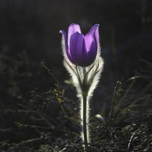 Pasqueflower—Mito enjoy