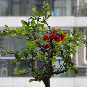 垂丝海棠盆景图片