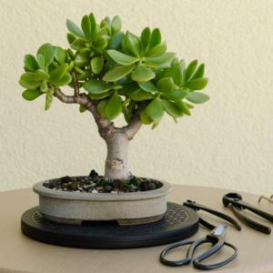 4 Steps to Prune the Perfect Jade Bonsai