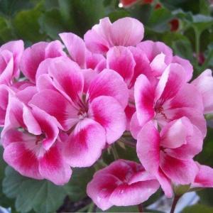 天竺葵什么季节施肥|休眠、病苗等不要施肥