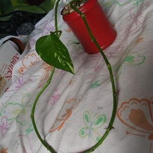 Golden Pothos  #2  - Epipremnum Aureum Only has one little leaf