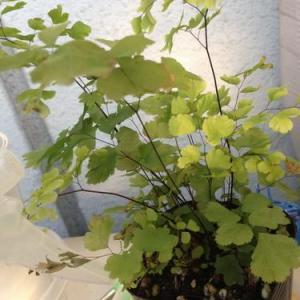 Cuadro taxonómico (continuación). Las plantas inferiores y superiores, talófitas.