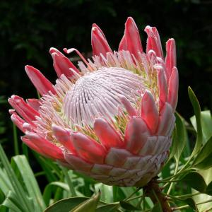南非国花:普洛蒂亚—帝王花