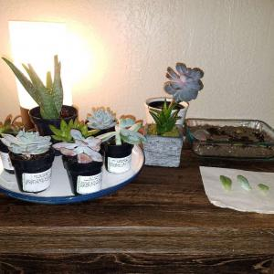 My succulent collection 😄 I rescued 8 out of the 9 from a neglectful hardware store. They'll just need a bit of time, TLC, and propagating and they'll be at their best in no time!!