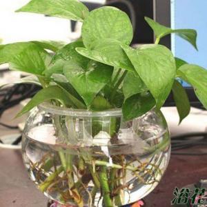 绿萝是大众观叶植物,可以说几乎所有花友都养活,有花友问起绿箩水培怎么养,其实非常简单,重点是造型,其他的都很容易,甚至可以说插水里就可以活。   绿萝水培其实可以分为两种,一种是希望水培一盆,像土栽一样(如上图一)。另外一种就是简单的水培一根或者几根枝条(如下图一二),不求多大的盆,只要能活着就可以。   如果是第一种,我们需要准备一个水培器皿外,最好是准备一个水培篮,因为水培蓝比较容易固定绿萝的枝条,当然了,如果有办法固定,不用水培篮也可以,没有固定要求。    第二种就更简单了,根据自己的喜好,选择器皿,然后将绿萝枝条插入瓶中就可以了。  下面说绿萝水培日常管理,这个是重点,我们不可将水培的绿萝放在太阳底下晒,可以放在室内,办公桌上都可以,只要有散光就可以了。  勤快点的一个星期或者两个星期换一次水即可,懒一点的不换水也可以,水少了加水。  真这么简单,没错,就这么简单,不过这样水培绿萝有一个弊端就是长势没有土栽的快,如果想水培的也长得快,那么就需要一周换一次水,在明亮的散光下养护,另外一定要保证养护环境的温度,春夏秋三季无所谓,冬天一定温度不能太低,不然容易冻死。