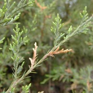 Phomopsis Blight of Juniper