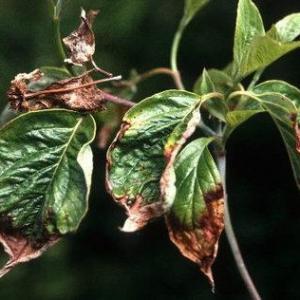 Leaf Spots of Dogwood