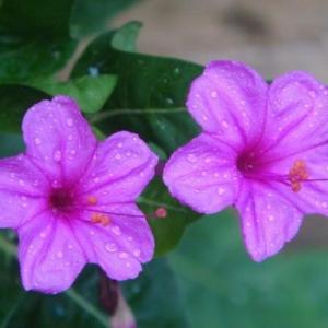 #紫茉莉  原产美洲热带,性喜向阳、温暖通风环境,适生于深厚肥沃疏松的土壤。紫茉莉植株强健,病虫害很少,且有抗二氧化硫能力,是一种很好的环保花卉。  紫茉莉用种子繁殖,宜在3-4月播种育苗,苗长出2-4片叶子时定植,株距50-80厘米为宜。移植后注意遮荫。紫茉莉管理粗放,容易生长,注意适当施肥、浇水即可。紫茉莉为风媒授粉花卉,不同品种极易杂交,若要保持品种特性,应隔离栽培。