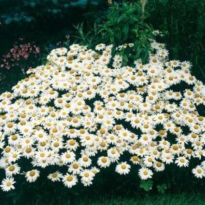 大滨菊图片