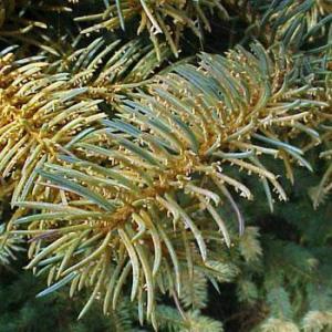 Pine Needle Rusts