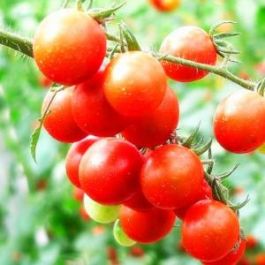 Growing Tomatoes in Hanging Basket: Vertical Gardening