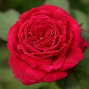 蒙特卡洛(Red Monte Rosa)