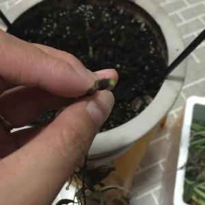 """可怜的小铁被我剪成这样了,庆幸的是剪下来的主杆芯还是绿的,茎上也没有灰白色的腐烂!貌似排除了度娘讲的""""枯萎病"""",祈求小铁能够起死回生✊🏻✊🏻"""