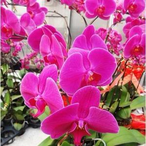 """蝴蝶兰为原产热带的附生兰,素有""""兰后""""之美称。总状花序,着花多朵,花的形态似蝴蝶,花色艳丽色泽丰富,花期甚长,是兰科植物中栽培最广泛、最普及的种类之一,深受世界各国人们的喜爱。作为一种十分重要的室内花卉,在家庭和办公室常可见到,在某些地区亦常作为新娘的手捧花。      蝴蝶兰的繁殖方法:  蝴蝶兰一般多采用组织培养法和分株法繁殖,但在无分蘖芽产生和在家庭条件下无法繁殖时,确令不少花友深感遗憾。在此向大家推荐一种利用蝴蝶兰花梗进行繁殖的技术。  将开花后花梗上的残花连花梗剪去,注意保留未萌发的节芽(约3~4节);把最上面1~2节的芽上的苞片小心除去,露出节芽,注意不可伤及芽子;取少量的催芽剂(植物激素)均匀涂在节芽上;将处理好的兰花置于适宜的地方,温度保持在25~30℃,湿度75%以上。经2~3个月即可长出1~2株新的花苗来;当新苗长到一定大小时,在其基部用薄膜把少量水苔裹住,当小苗长出2-3条粗根时,即可剪下单独种植。  家庭养护蝴蝶兰时,应注意以下几点:  (1)温度:蝴蝶兰原产于热带地区,喜高温高湿的环境,生长时期最低温度应保持在15℃以上,生长适温为20~30%,夏季超过35℃或冬季低于10℃时,其生育都会受到抑制。春节前后为盛花期,适当降温可延长观赏时间,但不能低于13℃。  (2)水分:蝴蝶兰在原产地大都着生在树干上,根部暴露在空气中,可以从湿润的空气中吸收水分,空气湿度要保持在70%。当人工栽培时,根被埋进栽培基质中,如浇水过多,基质通气性就会变差,肉质根就会腐烂,叶片会变黄、脱落,严重时导致死亡。浇水的原则:见干见湿,浇则浇透。当室内空气干燥时,可用喷雾器或喷壶向叶面喷雾,但需注意,花期不可将水雾喷到花朵上,以免落花落蕾。  (3)光照:蝴蝶兰需光照不多,约为一般兰花光照的1/3~1/2,切忌强光直射。若放室内窗台上培养时,要用窗纱遮去部分阳光,夏季遮光80%,秋季遮光60%,冬季遮光40%。在开花期前后,适当的光照可促使蝴蝶兰开花,使开出的花艳丽持久。  (4)营养:栽培蝴蝶兰一般选用水草、苔藓作栽培基质。施肥的原则应少施肥,施淡肥。正常生长期施用兰花专用肥2000倍液,进行根部施肥,视生长情况,2~3周施一次。开花前可选用以水溶性高磷钾肥为主的复合花肥1000~2000倍液,10天左右喷施一次。花期和温度较低的季节停止施肥。  (5)换盆:从小苗到开花需要2年左右的时间。成株的蝴蝶兰宜在每年春季开花后进行换盆和更换植料,不然易积生污垢和青苔,植料也易腐败,滋生病虫害。盆栽蝴蝶兰,宜用多孔透气的素烧盆。栽植时盆底所放植料至少要占盆容量的1/2,并将部分根外露于盆面,切勿全面深埋,否则妨碍呼吸及生长。"""