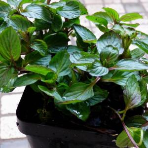 Care Of Red Raripila Mint: Learn How To Use Red Raripila Mints