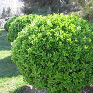大叶黄杨又名四季青、卫矛、扶芳树,为卫矛科常绿灌木或小乔木。苗一般60一90厘米高,最高可达3米。叶革质,椭圆形或倒卵形,叶缘有锯齿,枝叶密茂,四季常青,嫩叶有光泽,老叶深绿。花绿白色,由10余朵组成聚伞状花序,4—7月开花,果实球形,粉红色,10月成熟,为常见的观叶花木,适宜于栽作花坛、绿篱、庭前、阶旁或路边的美化植物,盆栽陈列室内,亦颇能给入以静心宁神的快意。  黄杨有几个变种:叶边黄色的叫金边黄杨;白边者叫银边黄杨;黄心者叫金心黄杨;还有一种有白色或黄色花纹的,叫纹心黄杨;有白色斑点的叫斑点黄杨;叶片极小的叫瓜子黄杨。  大叶黄畅原产我国北部和中部以及日本,目前南北各省广为栽培。它性喜阳光,但也能耐荫,适于温暖湿润气候及照沃土壤,也较耐寒,除未木质化的新梢冬季有时受冻外,即使北方地区露地栽植的,一般也能安全越冬。  黄杨萌芽力强,耐修剪,可以根据需要修剪成波浪、球形、方形甚至龙形、鸟形等各种形状,常在各种花展上凭添景趣。它还有很强的适应性,不论在哪种土壤上都能生长得碧翠宜人。  大叶黄杨的繁殖以扦插为主。扦插时间不论,除冬季外皆可进行;以8—9月最为适宜。扦插时,选择老株上带有木质的健壮枝条,剪成8—10厘米=段,上部保留2—3对叶片,把下部叶片摘掉,然后在经过翻土的苗床上掺入约1/3的河砂,拌匀,灌足水,趁有水时在泥浆状土中扦插,插入深约1/2,保持4×8的株、行距,待插床上水渗下后,用稻章类桔秆遮荫,一个月后插穗即可生根。11月中旬时除去遮荫物曲盖塑料薄膜防寒。翌春3月进行移植。  在移植时,最好将幼苗根部蘸上厚泥浆;大的苗株,起苗时宜连带根泥捆扎成泥球,易于移植成活和生长。当年种植的小苗,可任其自然生长,10—15天浇1次水,干旱季节要增加浇水。一年中施追肥1-3次。北部地区冬季若能给它在朝北方向盖点塑料膜抵挡寒风,则更为保险。第二年早春即可进行修剪。
