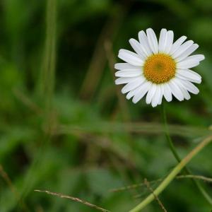除虫菊图片