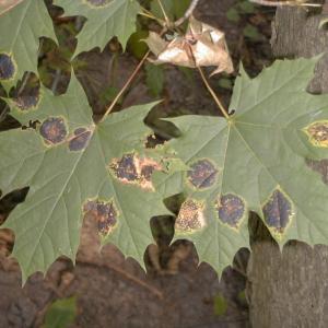 Maple Tree Tar Spot – Managing Tar Spot Of Maples