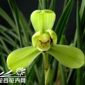 """我国的兰花经过劳动人民长期栽培、选育,品种甚多。许多名贵兰花有的根据它们的花瓣瓣型的特殊形态而命名的,如""""××梅"""".""""××荷""""、""""××水仙""""、""""××素""""、""""××奇瓣""""等。有的根据它们的颜色加以形容,如""""绿云""""、""""翠盖""""、""""绿英""""、""""紫绶金章""""、""""翠一品""""、""""赤蜂巧""""、""""仙绿""""、""""大绿荷""""、""""绿魁""""、""""翠蟾""""、""""紫寒兰""""、""""白报岁""""等。有的根据栽培者姓名或在选育过程中的佚事以及地名等作为它们的命名,如""""宋梅""""、""""端梅""""、""""汤梅""""、""""张荷素""""、""""榭荷素""""、""""程梅""""、""""崔梅""""、""""杨氏荷素""""、""""杨氏素蝶""""、""""大一品""""、""""小打""""、""""常熟素""""、""""苏州春一品""""、""""余姚第一梅""""、""""上海梅""""、""""松江大荷""""、""""温州素""""、""""巨州素""""、""""金岙素""""、""""龙岩素""""、""""观音素""""、""""永安素""""、""""永福素""""、""""建兰""""等。亦有以其形态而命名的,如""""集圆""""、""""鹦哥梅""""、""""海鸥""""、""""朵云""""、""""蜂巧""""、""""翠蝶""""、""""蛾蜂梅""""、""""端梅""""、""""极品""""、""""鱼?兰""""等。更有以花茎上着生花朵的多少和形象而命名的,如""""十三太保""""、""""十八大凤""""、""""代梅""""、""""蕙莲""""、""""和合蝶""""、""""四喜蝶""""等。为了使读者详细了解我国主要名种兰花的历史、特征、瓣型系统,现详细介绍如下:      春兰类  1宋梅 瓣型 梅瓣 历史 清乾隆年间由浙江宋锦旋家选出,故一名宋锦旋梅。  特征 花开梅瓣型时,三瓣特别紧圆,蚕蛾捧,刘海舌;有时亦能开荷形水仙瓣或梅形水仙瓣;如兰草强壮时偶有并蒂花。老叶多呈弓形,苞叶淡红色,叶色浓绿,叶幅较宽,叶尖钝。为春兰梅瓣型中杰出名种,并被列入春兰四大名种之首。  2余姚第一梅 瓣型 梅瓣 历史 清道光时余姚徐岭选出。亦称第一圆。 特征  三瓣短圆,瓣肉厚,五瓣分窠。微落肩。如意舌。花茎细。花色不净绿。老叶微呈镰形。苞叶叶尖淡红色。叶片稍厚。  3萧山蔡梅 瓣型 梅瓣 历史  清乾隆时浙江萧山蔡氏选出,其后遭战乱,断种;咸丰时宁波艺兰爱好者选出类似绿梅素,取而代之,但外三瓣较旧种稍狭,硬捧,与老种比较,花形较差。  特征 外三瓣紧边,肩平,全合捧(与柱蕊粘合一起,俗称三瓣一鼻头)居多。细茎干高。色翠绿。呈梅型时花形稍小称蔡梅。若开梅形水仙时,多五瓣分窠,花形较大,称蔡梅水仙;由于唇瓣呈微白绿色,故又称蔡梅素。老叶微呈弓形,叶脉稍深,脚壳低,苞叶绿色。此花由壮草转瘦,开梅型水仙居多,缺肥后,兰草瘦时常开梅型,如胶壮后方有好花品开出。  4玉梅 瓣型 梅瓣 历史 清康熙年间在绍兴选出。 特征 五瓣较短圆,肩平,平边短捧,白舌,靠近唇瓣根两腮缘,偶有微粉红色晕。花茎较短。早花性。  5秦梅 瓣型 梅瓣 历史 清嘉庆时由浙江嘉善地方选出。 特征 五瓣短圆,紧边,分窠,硬捧,如意舌,细花茎,肩平。老叶呈镰形,叶尖钝,苞叶淡红色。  6鸳湖第一梅 瓣型 梅瓣 历史 清朝同治年间选出,又名万字,特征 三瓣圆长,紧边,肩平,瓣肉厚,质糯,翠绿色,捧瓣瓣头有微红色小点,小如意舌老叶呈弓形,苞叶深绿色,叶脉深,脚壳低。  7小打梅 瓣型 梅瓣 历史 清朝道光年间在苏州花窖中选出,因相互争夺发生殴斗,故以命名。 特征 花瓣短脚圆头肩平,紧边半硬捧,圆舌,花茎细长。老叶微呈镰形,苞叶深红色。  8代梅 瓣型 梅瓣。历史 清道光年间,宁波花贩选出。 特征 三瓣圆长,半硬捧,小如意舌。常开一干两花(上下叠开),缺肥后,偶开一干一花。老叶呈弓形,叶尖钝,叶脉浅,叶质厚。苞叶红紫色。  9吉字 瓣型 梅瓣 历史 清朝光绪甲申年苏州盛阿关在浙江天目山中发现。 特征  三瓣短圆收根,肩平,紧俏,分窠半硬兜捧,圆舌。花茎细长,水红色壳,尖端全绿。老叶半垂,叶质较厚。  10永丰梅 瓣型 梅瓣 历史 抗战前由花贩选出。 特征 三瓣紧圆,短脚、收根,如意舌,半硬兜,花茎高。老叶呈斜垂形,叶尖尖锐。  11集圆 瓣型 梅瓣 历史 清咸丰初由浙江余姚艺兰家选出。又名老十圆。 特征  外三瓣着根结圆,故命名为集圆。有时开梅形水仙瓣,那三瓣稍长圆。五瓣分窠,小刘海舌,花色微带黄绿色,肩平,瓣肉厚。花容端庄;硬挺,花期长。老叶呈斜垂形,叶尖钝,叶脉较深,叶质厚,脚壳低。苞叶绿中带微红。此种健壮,容易生花,繁殖快,故为春兰中流传最广泛品种之一。为春兰中四大名种之一。  12西湖梅 瓣型 梅瓣 历史 清光绪年间由杭州火药局胡同龚茂兴花圃选出。 特征 三瓣短圆、收根,分窠,半硬兜捧心,小圆舌。早花性。老叶呈镰型,叶质厚。苞叶淡紫色。  13天兴梅 瓣型 梅瓣 历史 清光绪乙酉年由花贩沈姓选出。 特征。三瓣短脚圆头,瓣幅特阔,质糯,瓣肉特别厚实感,瓣尖常带有钩锋,色绿,肩平,舌大,且舌上红点有一、二、三、四点之别。叶片较宽,半垂性,叶面光亮,叶尖钝。苞叶紫红色。  14桂圆梅 瓣型 梅瓣 历史,绍兴朱祥保选出。又名赛锦旋。 特征 三瓣短圆,平"""