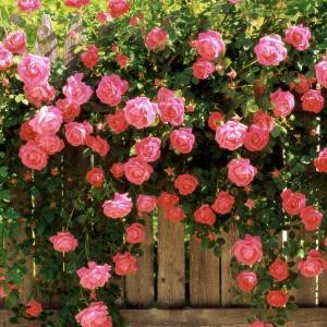 唯美的蔷薇花图片欣赏