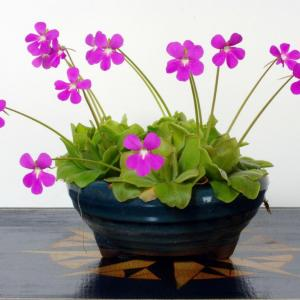 Pinguicula moranensis – Butterwort