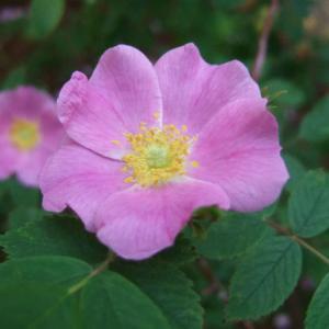 Rosa acicularis – Prickly Wild Rose