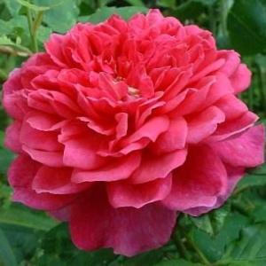 苏菲的玫瑰(Sophy's Rose )