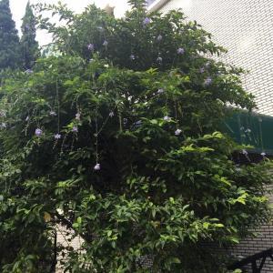 請問這樹種的名子
