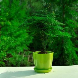 文竹的风水作用 文竹在家里如何摆放