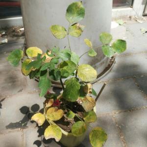 月季花黄叶怎么办?黄了一次秃了,长了新叶本来有点信心以为能好结果又黄了😭怎么办啊,叶子还被切叶蜂吃了