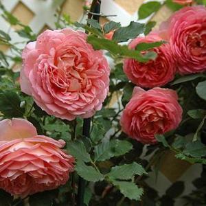 风中玫瑰(Rose des 4 vents)