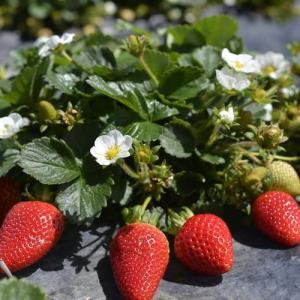 Plagas, enfermedades y fisiopatías en cultivo de fresas, fresones