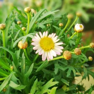 粉玛绽放初花,虽然还未完全展开