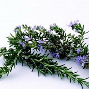 How to Split Rosemary Plants