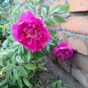 这个是食用玫瑰吗,刚刚花友说是食用玫瑰,枝干上有刺