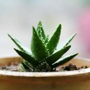 养花小技巧:芦荟这样养才能根大茎粗,怪不得我家的都养不大,枯死了