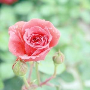 玫瑰花怎么保鲜