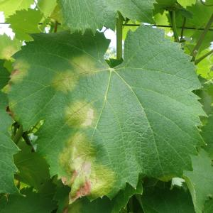 Downy Mildew of Grapes