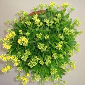 盆里加点它,虫子全死光,叶绿花艳蹭蹭长!